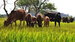 Cả trăm trâu bò chết hạn: Di dời đàn đến nơi có thức ăn