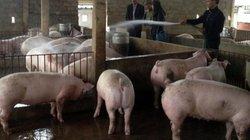 """Liên kết nuôi lợn, dễ vượt """"khủng hoảng"""" giá"""