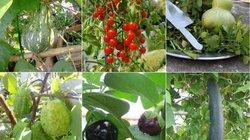 """Lại """"đốn tim"""" vì vườn quả trên sân thượng của ông bố trẻ Đà Nẵng"""