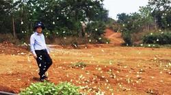 Bướm vàng xuất hiện dày đặc ở Đam Rông có ảnh hưởng mùa màng?