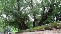 Những cây bồ đề đặc biệt ở Thủ đô