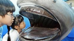Cận cảnh loài cá mập miệng rộng nhất đại dương