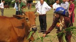 Hấp dẫn đua tài nuôi bò lai giỏi
