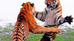 Hổ đứng thẳng 2 chân đánh nhau như phim chưởng