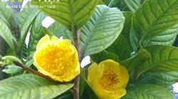 Trà hoa vàng Ba Chẽ, thương hiệu của Giám đốc Nịnh Văn Trắng