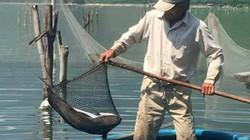 Thừa Thiên- Huế: Cá nuôi chết hàng loạt, dân hoang mang