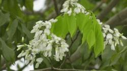 Cây độc tận diệt cá ở Quảng Trị là cây gì?