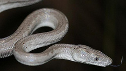 Phát hiện loài trăn bạc mới cực hiếm ở Bahamas