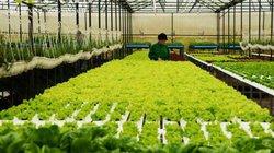 Hơn 98% rau Lâm Đồng là rau sạch