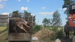 Phát hiện xe tải chở 5 con bò chết bốc mùi hôi thối đi tiêu thụ