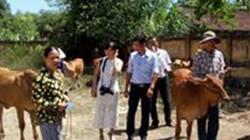 Quảng Nam: Trao bò giống cho nông dân nghèo