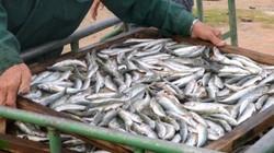 Bộ Y tế sẽ kiểm tra mức độ nhiễm độc của cá có phenol
