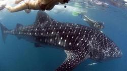 6 địa điểm bạn có thể lặn biển cùng cá mập voi