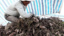 Chuyển lúa sang trồng màu ở ĐBSCL: Vì sao nhà nông chưa mê?
