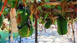 """""""Nghệ nhân"""" chia sẻ cách trồng bí đao khổng lồ nặng nửa tạ mỗi trái"""