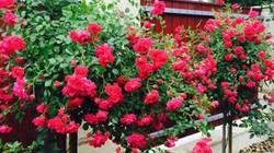 Đã mắt ngắm vườn hồng đủ sắc màu của mẹ Việt ở Hungary