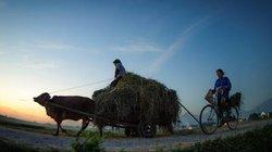 Những cánh đồng lúa Bắc Bộ rộn ràng mùa gặt