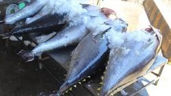 """Khánh Hòa: Loay hoay """"nâng tầm"""" cho cá ngừ đại dương"""
