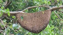 Tổ ong dữ và câu chuyện trách nhiệm