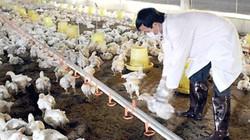 Doanh nghiệp Nhật ồ ạt ký hợp đồng mua gà Việt
