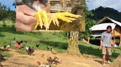 Giỗ Tổ Hùng Vương: Gà Sơn Tinh chín cựa nuôi như gà ri, 4 triệu/con
