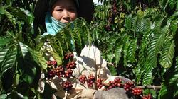 Giá nông sản hôm nay: Cà phê lên 47.200 đ/kg, hồ tiêu đì đẹt