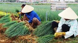 Về Nghệ An, xem nông dân dùng phương thuốc đặc biệt trị bệnh cho cây hành lá