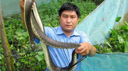Hãi hùng cách nuôi nuôi rắn ri cá trong vèo, thu trăm triệu mỗi năm