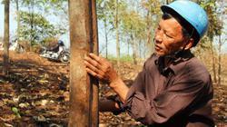 Vườn cao su nghi bị đốt cháy tại Quảng Trị: Sớm điều tra, làm rõ