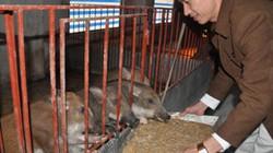 """Chiêm ngưỡng trang trại lợn rừng sạch """"khủng"""" 12.000 con ở Hà Nội"""