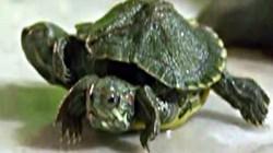 """""""Quái vật"""" rùa lạ hai đầu sáu chân như bước ra từ phim bom tấn Mỹ"""