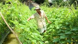 Bỏ lúa trồng màu, nông dân lãi 66 triệu đồng/ha
