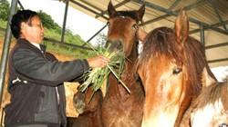 """Mang tiếng """"Bật Mã Ôn"""" vì nuôi đàn ngựa hơn 60 con"""