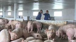 Giá lợn rớt thê thảm: Khơi thông thị trường ASEAN thay Trung Quốc