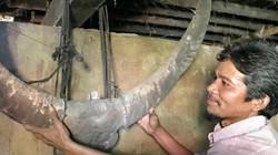 """Ngắm cặp sừng trâu cổ """"khủng"""" nặng 15kg, dài gần 1m của người Kor"""