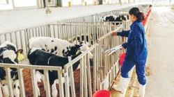 Trang trại bò sữa hữu cơ của TH: Sánh ngang với các nước phát triển
