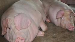 Ngành lợn có hi vọng gì từ thị trường Trung Quốc?