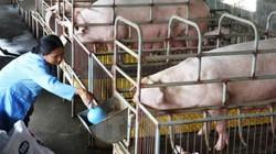Phải ngừng ngay việc dùng lợn thịt làm lợn nái!