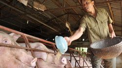 Trung Quốc bắt đầu mua lợn trở lại, giá lợn miền Bắc tăng 3.000đ/kg