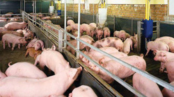 Giá nông sản hôm nay 1.5: Trung Quốc sẽ mua 2,3 triệu tấn thịt lợn