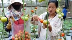 Thực phẩm sạch: Nghỉ lễ đi ngắm cà chua sạch siêu trái ở Tây Nguyên