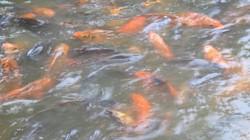 """""""No mắt"""" với đàn cá chép """"nghiện"""" ăn bim bim trong ao chùa Nôm"""
