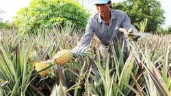 Thu nhập tăng gấp 4 khi trồng khóm trên đất chua phèn