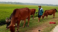 """Giá trâu, bò """"lao dốc"""", nông dân đề phòng bị phao tin ép giá"""