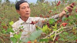 """""""Câu"""" mỗi năm 200 triệu đồng từ trồng dâu ta ăn quả"""