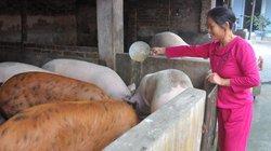 """Cục Chăn nuôi """"hỏa tốc"""" yêu cầu các tỉnh thống kê, giải cứu lợn"""