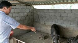 """Vua lợn rừng tiết lộ """"bí kíp"""" nuôi lợn kiếm trăm triệu mỗi năm"""