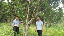 Bưởi lạ trồng đất quen-dân Đà thành kiếm bộn tiền tiêu