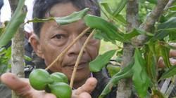"""Quảng Ngãi: Bày cách cho người dân huyện nghèo trồng cây """"tỷ đô"""""""