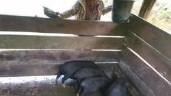Nuôi lợn đen địa phương-nông dân vẫn yên tâm được giá